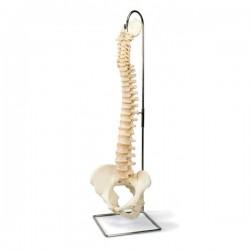 Columna vertebral con pelvis