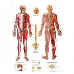 Lámina 3B El Sistema Nervioso