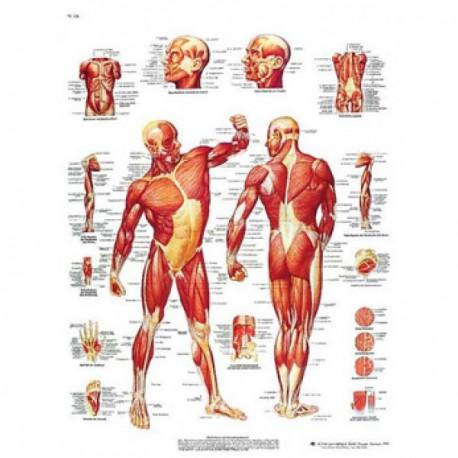 Lámina 3B La Musculatura Humana