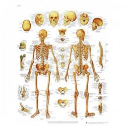 Lámina 3B El esqueleto Humano