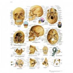 Lámina 3B El Cráneo Humano