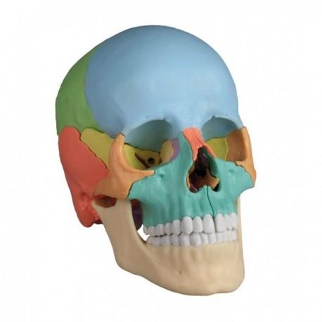 Cráneo 22 partes con imanes
