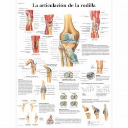 Lámina 3B Articulación Rodilla