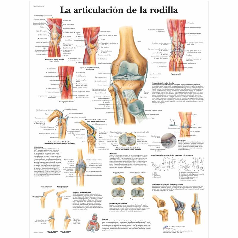 Lámina 3B Articulación Rodilla - Fisioportunity: Tu tienda online
