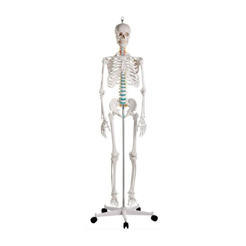 Esqueleto Oscar - www.Fisioportunity.com