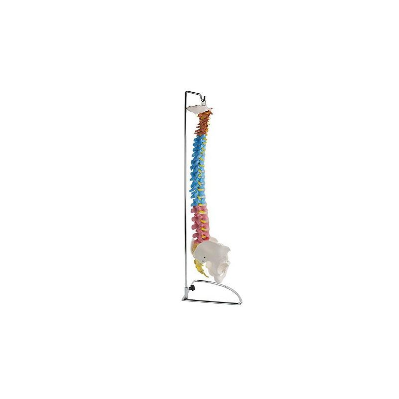 Columna vertebral con pelvis Didáctica - www.Fisioportunity.com