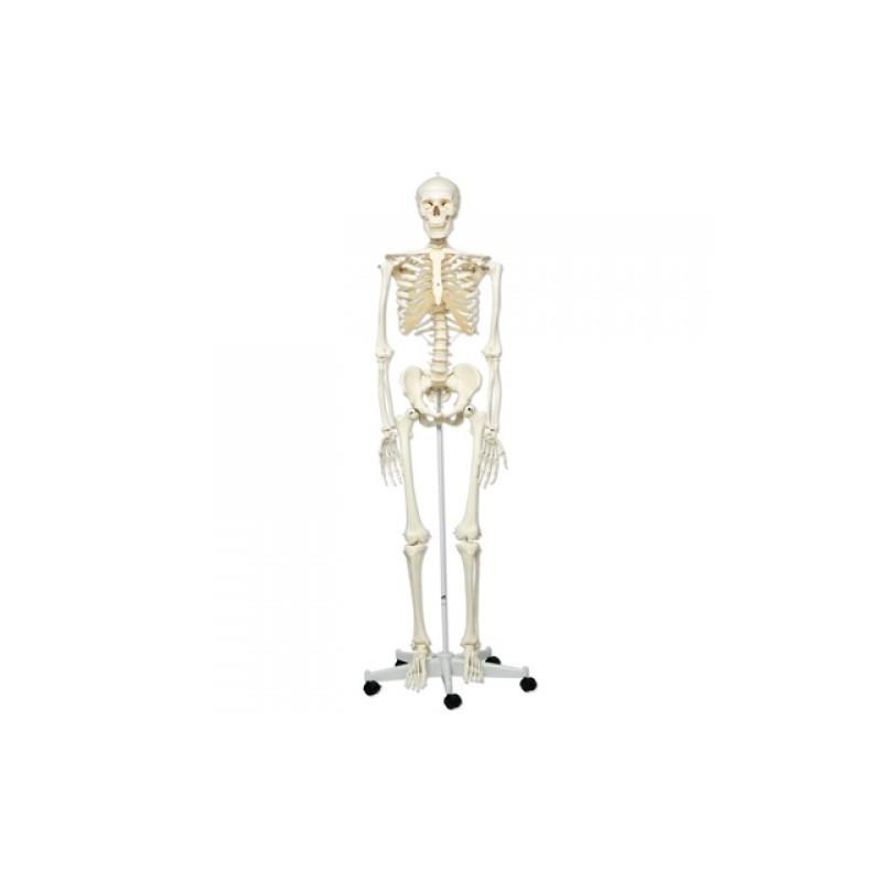 Esqueleto 3B - Fisioportunity: Tu tienda online