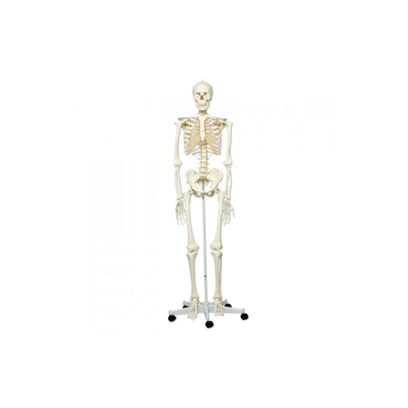 Esqueleto 3B - www.Fisioportunity.com