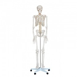 Esqueleto Tamaño natural Fisioportunity